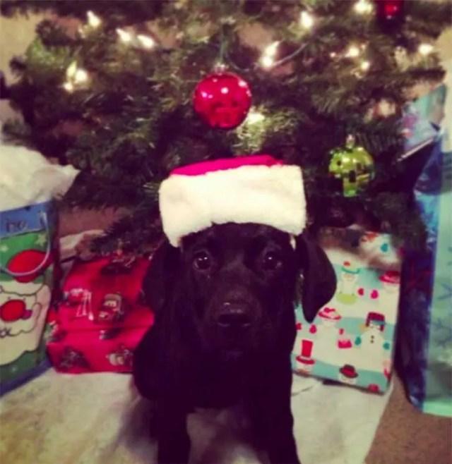 familia-perros-navidad4