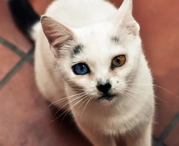 gatos heterocromia 10