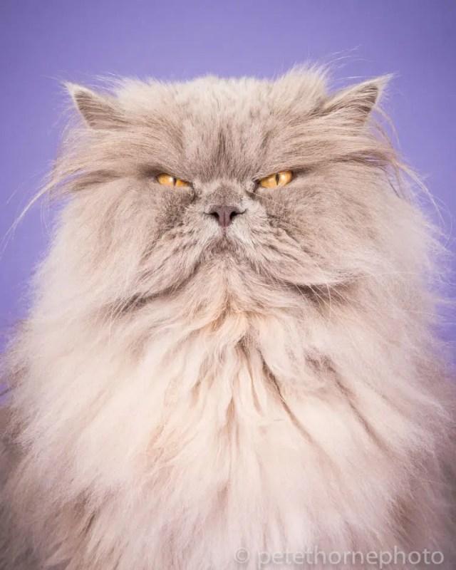 fotografia-gatos-gordos-8