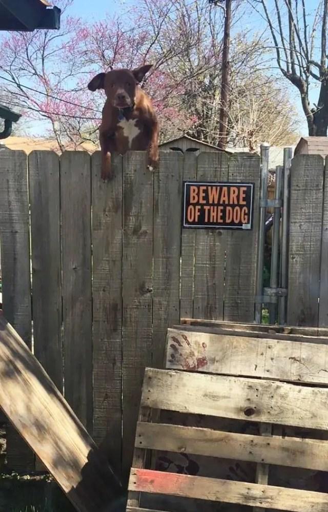 adorables-perros-peligrosos-19