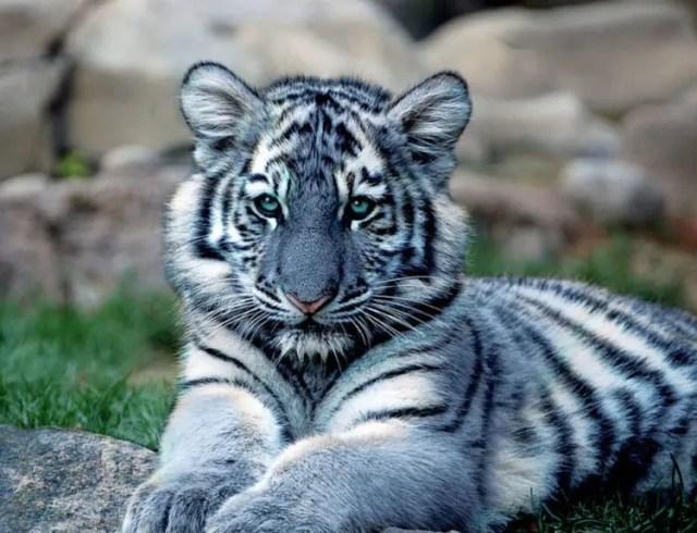 especies-felinas-peligro-extincion-22