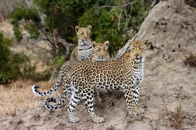 especies-felinas-peligro-extincion-25