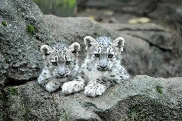 especies-felinas-peligro-extincion-3