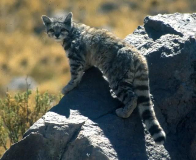 especies-felinas-peligro-extincion-8