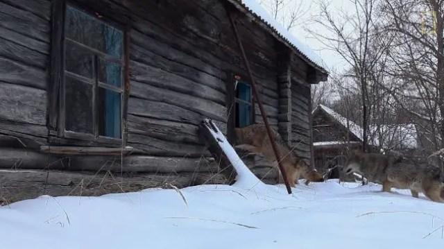 los-animales-que-conquistaron-de-vuelta-chernobyl-6