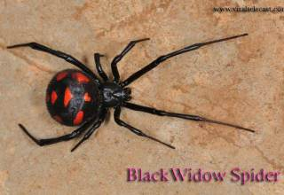 Male Black Widow Spider
