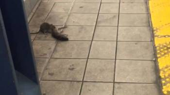 NYC Subway Rat Pulls Dead Rat Down Stairs