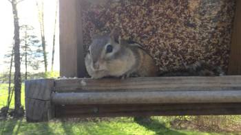 Guy Catches Chipmunk Stealing Bird Food Red Handed