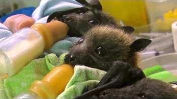 Bat Orphans At Australian Bat Clinic
