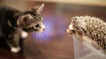 Kitten Meets Hedgehog For First Time