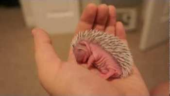 Seven Day Old Hedgehog Taking Nap In Palm Of Hand