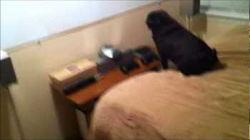Pug Watching TV Hates iPhone Commercials