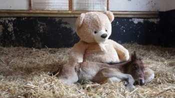 Orphan Pony Sleeps With Teddy Bear