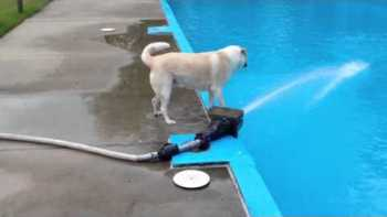 My Dog Isn't The Smartest, Falls In Pool