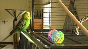Disco The Parakeet Recites One Phrase That Leads To Another