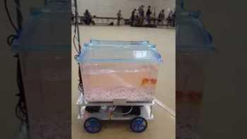 Goldfish Is Steering His Own Aquarium