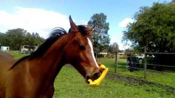 Horse Has Fun With Squeaky Toy