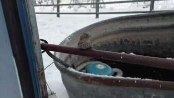 Man Rescues Finch Frozen To Fence With His Breath