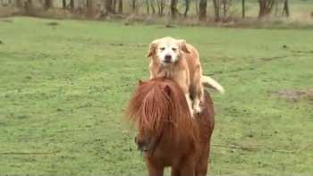 Dogs And Ponies Are Not Only Human's Friends, But Also Each Other's