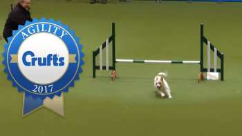 Hilarious Jack Russell Goes Crazy At Agility Course