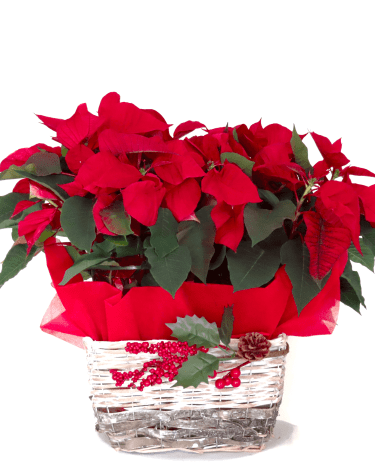 cesta-dos-ponsetias-pascueros-rojos-adorno-navidad