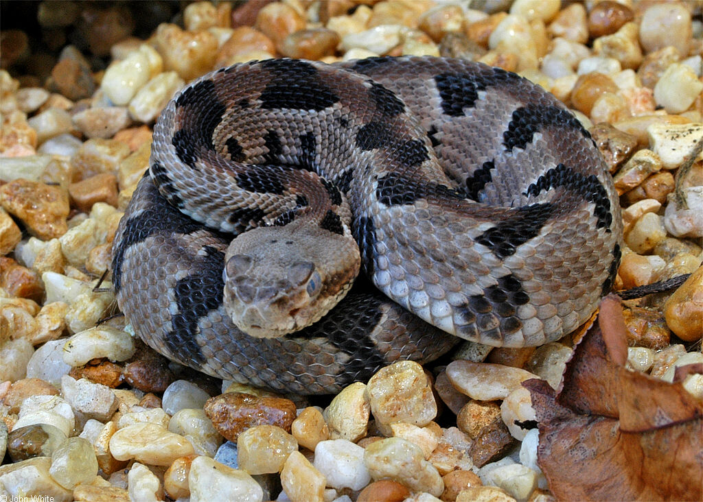 https://i2.wp.com/www.virginiaherpetologicalsociety.com/reptiles/snakes/timber-rattlesnake/sp_timberrattlesnake002.JPG