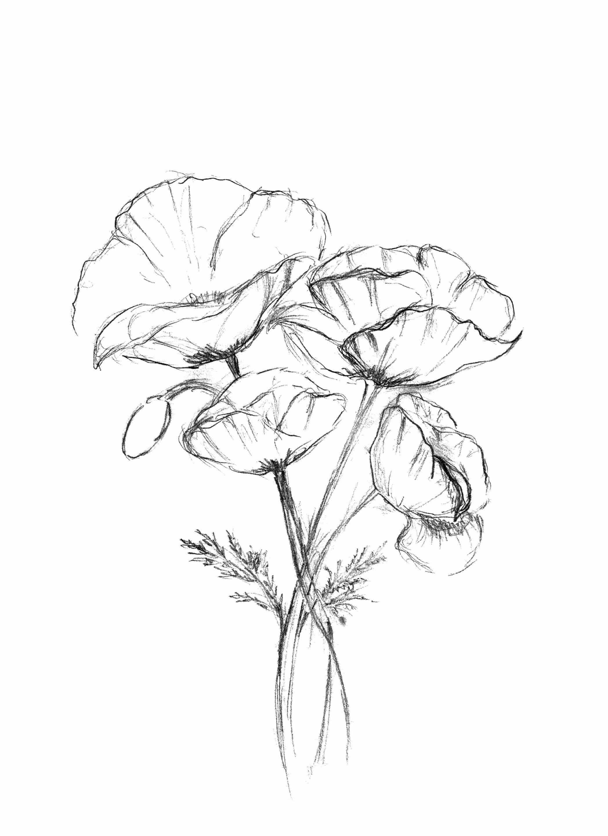 Esquisse aux graphites d'un bouquet de coquelicots réalisée par l'artiste peintre Virginie Brassart