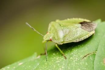 come allontanare le cimici verdi con rimedi naturali