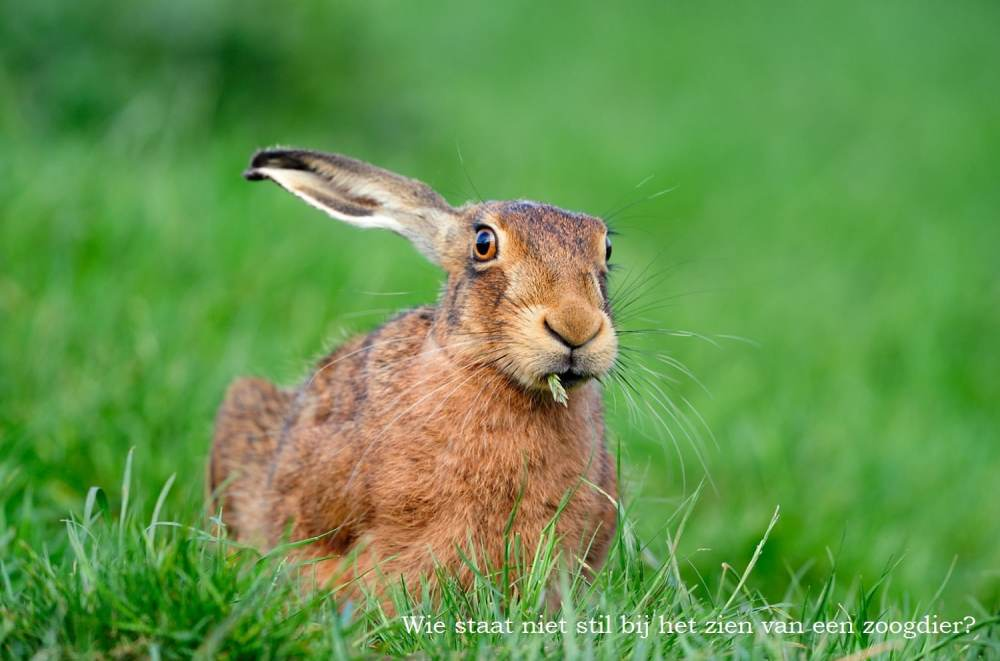 Brown Hare (Lepus europaeus) adult in grass field, Berwickshire, Scotland, May