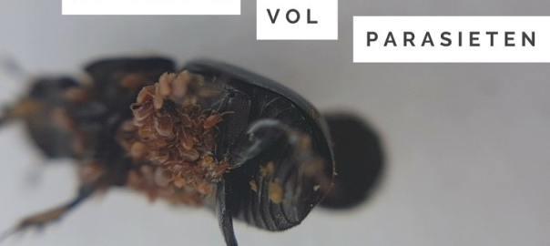 mestkever vol parasieten en mijten d