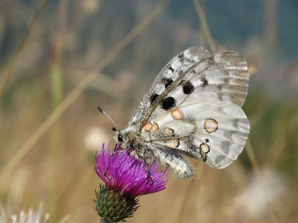 apollovlinder monte crocione comomeer italie witte vlinder c