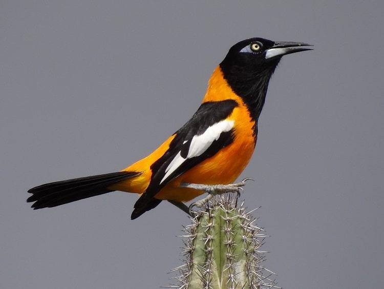 oranje troepiaal vogels kijken op aruba