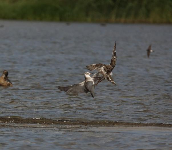 Vogelexcursie Oostvaardersplassen (Flevoland)