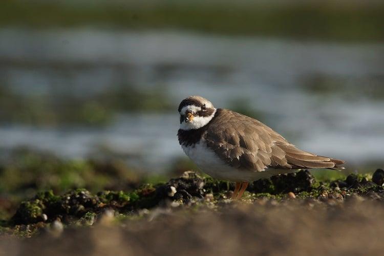 vogels kijken brouwersdam bontbekplevier sjaak huijer zomer