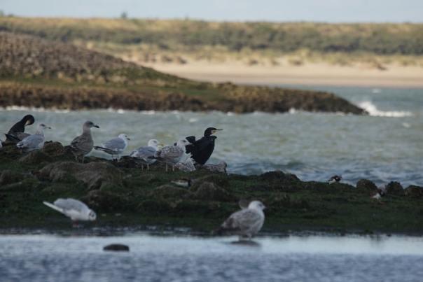 vogels kijken brouwersdam sjaak huijer noordzee