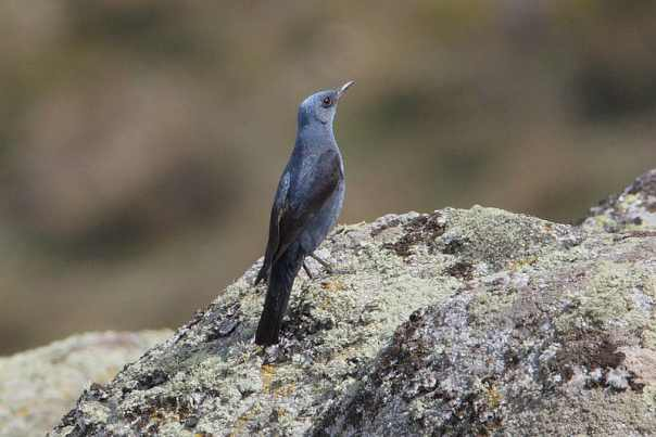 blauwe rotslijster vogels kijken in de extremadura a