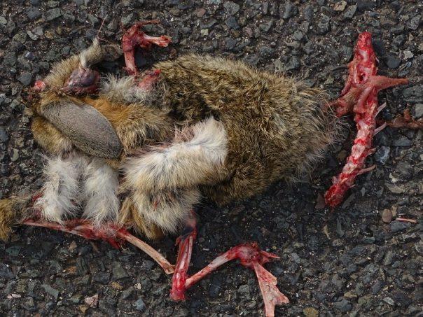dood konijn maasvlakte europoort