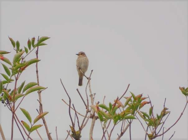 grauwe vliegenvanger maasvlakte westplaat trekvogel