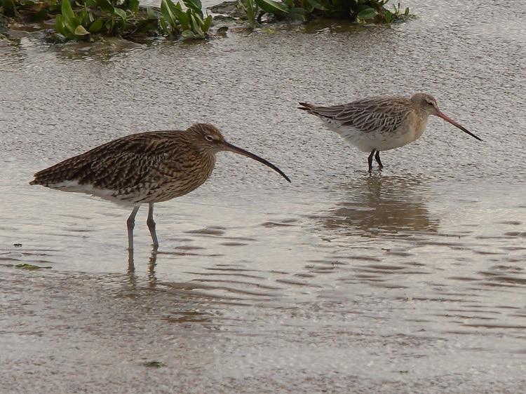 wadvogels kijken op de grevelingendam sjaak huijer