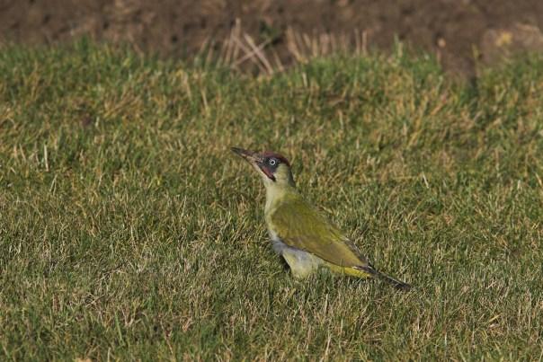 Groene specht, male, Saxifraga-Martin Mollet