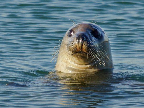 grijze zeehond brouwersdam door sjaak huijer