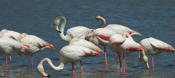 Phoenicopterus ruber 7, Flamingo, Saxifraga-Jan van der Straaten