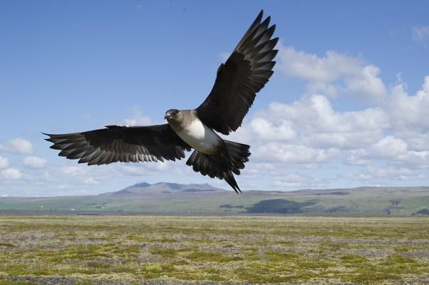 kleine jager op Spitsbergen