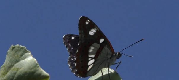 blauwe ijsvogelvlinder