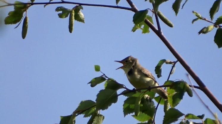 uitbundig zingende spotvogel