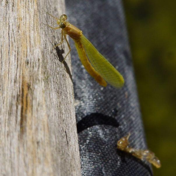 jan katsman recensie fotogids libellen van nederland