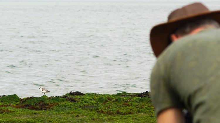 drieteenstrandloper op de brouwersdam waterlijn