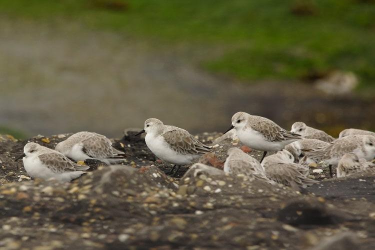 drieteenstrandlopers op de brouwersdam (Fotograaf: Sjaak Huijer)