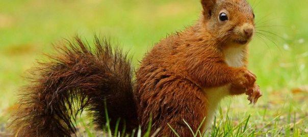 eekhoorn in het vennenbos