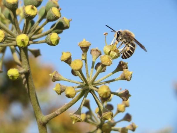 voordelen klimop insecten